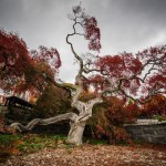Lacy Japanese Maple (1 of 1)
